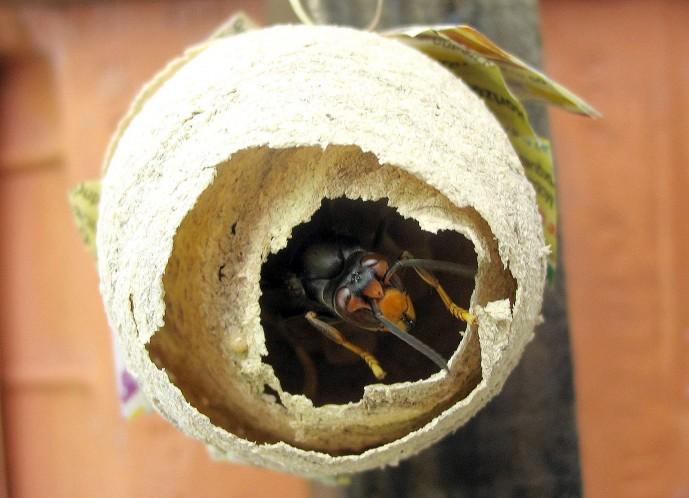 전봇대나 나무 위 등 사람의 행동반경과 가까운 곳에 집을 짓는 등검은말벌은 중국 상하이를 통해 유입된 것으로 추정 중이다. - 위키피디아 제공